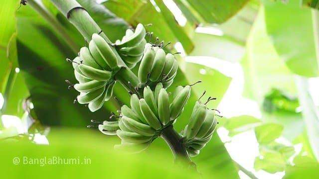 Banana Cultivation Method and Guide