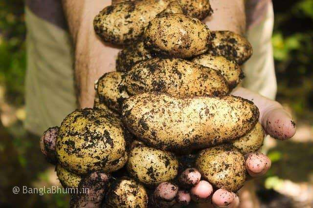 Potato Cultivation Methods And Detailed Information