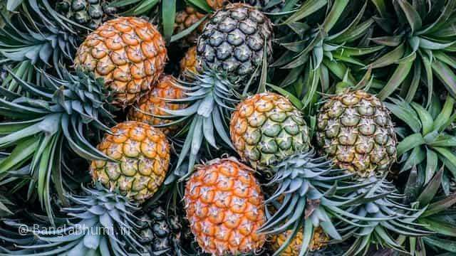 Effective Pineapple Cultivation Method in Bangla