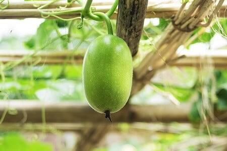 White Gourd Cultivation Method in Bangla