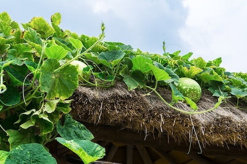 Ash Gourd Cultivation Method in Bangla