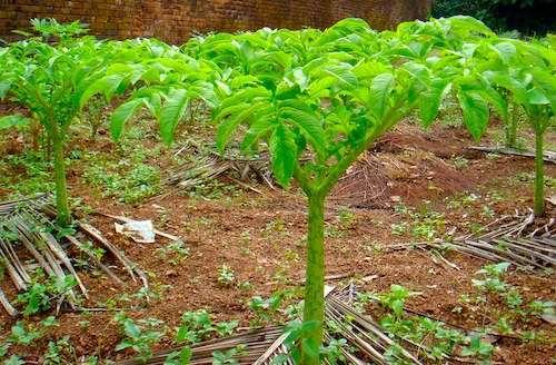 Elephant Foot Yam Cultivation Method