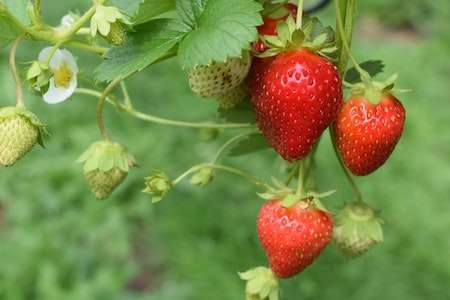 Easy Strawberry Cultivation Method in Bangla