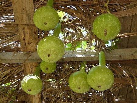 Winter Gourd Cultivation Method in Bangla