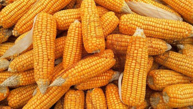 Corn Cultivation Method in Bangla