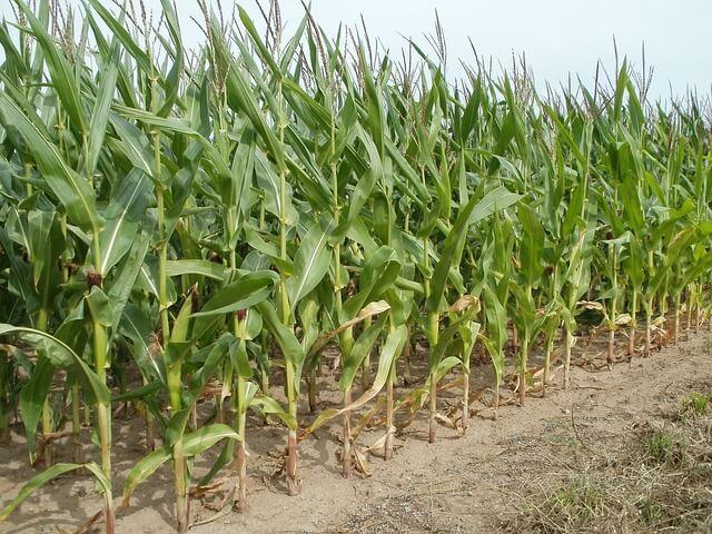 Corn Cultivation Method & Harvesting