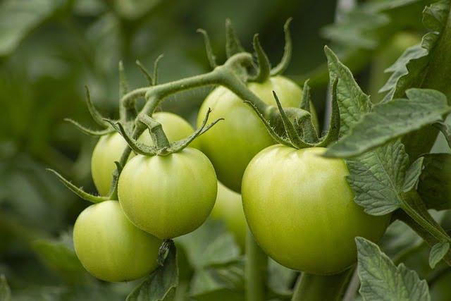 Tomato Cultivation Method